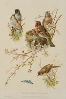 Zoolog. Darst. Versch. Vogelarten, Plattmönch, Buchfink, Farbdruck um 1900