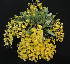 BIN-Dendrobium aggregatum- Fragrant Species! Fantastic- Easy to grow! Must have!