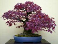 10 seeds /'Fukure mandarin/' kouji C.tachibana lineage Citrus tumida
