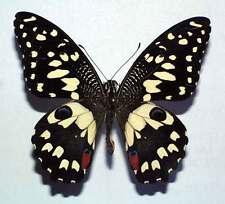 PAPILIO DEMOLEUS - unmounted butterfly