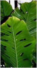 Planta de tejas Monstera karwinski// Philodendron/Exótico Planta De Interior