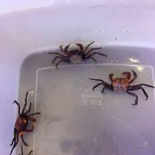 Crabs - Purple Vampire x 1/3/5 Freshwater Aquatic Aquarium/Terrarium (TO072)
