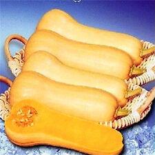 FD2493 Cream Pumpkin Seed Cucurbita Sweet Delicious Hot Seeds ~1 Pack 8 Seeds~♫