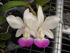 "Cattleya walkeriana var. semi-alba 'Carmela' Mounted 6"" wood plaque Species"
