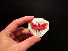 Entomologie Insecte Superbe Pyrops hamdjahi A1 d'Indonesie!!
