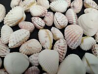 "LOT OF 50+ PAIRS OF COCKLE SEA SHELLS 7/8"" - 1 /12"" OCEAN DECOR GLUED TOGETHER"