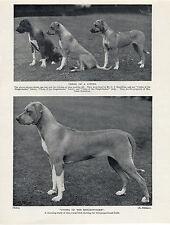 RHODESIAN RIDGEBACK NAMED DOGS OLD 1934 DOG PRINT