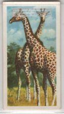 Giraffe Africa Tallest Land Mammal Long Neck Vintage Ad Trade Card