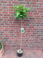 Kugel-Trompetenbaum, Höhe: 170-180 cm, Catalpa bignonioides Nana + Dünger