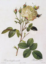 Large White with Buds Cabbage Rose Redoute Vintage Botanical Art 11x17 Poster