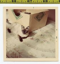 Vintage 1969 CAT photo / Siamese Daddy Guards Box of Truly Fine Sleeping Kittens