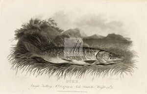 ANTIQUE 1807 Rural Sports Engraving - Pike Fish #F194