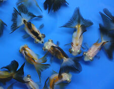 Live Tricolor Panda Butterfly tail Goldfish sm. fish tank, koi pond or aquarium