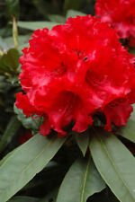Rhododendron Taurus- #2 Container Plant - Red Blooms - Award Winning Plant