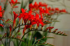 "Crocosmia ""lucifer"" ( 25 graines /seeds )"