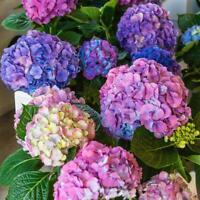 20Pcs Seeds Hydrangea Hortensia Flowers Plants Rare Kind Beautiful Home Garden