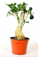 "Adenium Desert ROSE Miss Beauty House Plant Bonsai Bare Root with 4"" Pot Mature"