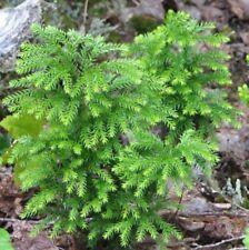 Ground Pine . Lycopodium . 200 Spores