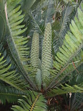 Cycad- Rare Encephalartos Munchii 5 Seedlings offer-Bulk buy-Super special!!