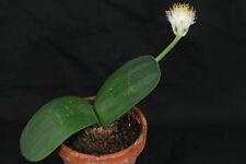 Zwiebel - Elefantenohr - Haemanthus albiflos - schöne Blüte - selten im Handel