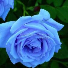 200 Rainbow Blue Rose Seeds Home Garden Flower Lover Easy Growing TT022