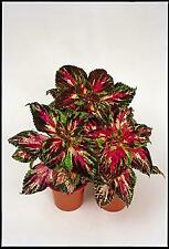 Coleus Super Rainbow Multicolor    500 seeds  Need More?  Ask