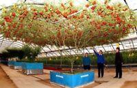 ALBERO GIGANTE DI POMODORO - TOMATO GIANT TREE, 25 SEMI PREZZO SPECIALE+OMAGGIO