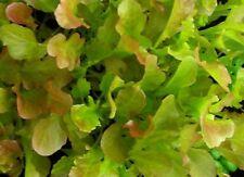 Red Salad Bowl Lettuce Seeds- Heirloom- 1,000 '18 Seeds $1.69 Max Shipping/order