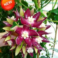 Bonsai Garden Rare Hoya Carnosa Plants Orchid Flowers Flores Series 100 PCS Seed