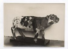 PHOTO ANCIENNE Veau Bouledogue Monstre Tératologie morphologique Anomalie 1930