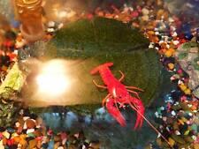 Tangerine Lobster / Crayfish - Freshwater Invert