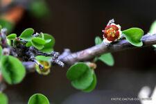 Rare Euphorbia Misera cliff spurge exotic pre bonsai cactus cacti seed 5 Seeds
