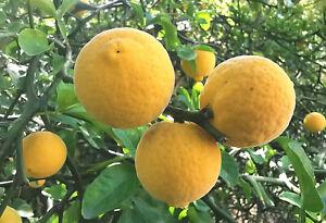 3x Hardy Lemon tree flowering shrub Bitter Orange PONCIRUS TRIFOLIATA plants