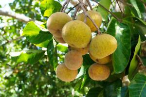 Santol (Sandoricum koetjape) Tropical Live Fruit Tree plants