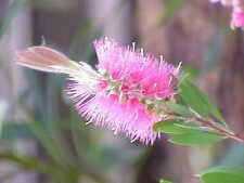 Callistemon Reeves Pink (bottlebrush) in 50mm forestry tube Native Plant