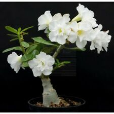 !!!!PERFECT CHRISTMAS GIFT!!!! 2 White Desert Rose (Adenium obesum)