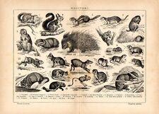 Stampa antica animali RODITORI Scoiattolo Marmotta Castoro Beaver 1910 Old print