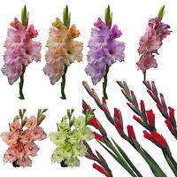 2pcs Mixed Colors Gladiolus Jumbo Giant Flower Bulbs Perennials Summer Plant-