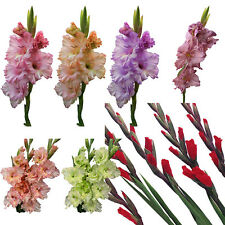 2pcs Mixed Colors Gladiolus Jumbo Giant Flower Bulbs Perennials Summer Plant .