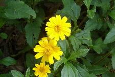 Beautiful ! ! Singapore Daisy Ground Covering Wedelia (Sphagneticola trilobata!