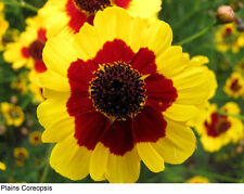 Coreopsis Dwarf Radiata Mix Seed Yellow & Red and Solid Red Flower Mix Easy Grow