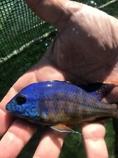 New listing Red Empress East African Cichlid Fish 7�