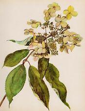 Antique HYDRANGEA Botanical Art Print White Flower Gallery Wall Shrub 1614