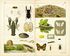 1886 TEMPSKY CHROMOLITHOGRAPH butterflies, beetles, ants, mussels, snails, worms