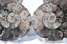 "2244xx Fossil PAIR Ammonite Great Color Crystal Cavities XXXL 9.3"" 110 MYO 236mm"
