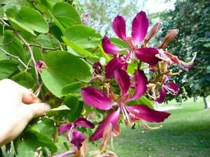 10 Bauhinia Purpurea Orchid Tree Seeds Camel's Foot, Butterfly, Hawaiian Flower