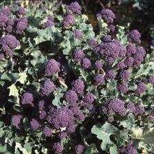 "Nr58  Brokkoli  Lila ""Purple Early Sprouting"" 200 Samen"