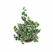 Root Bridges Indoor Ficus Pumila Plant (Pot included)