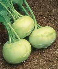 Organic White Vienna Kohlrabi NON-GMO 50+ Vegetable Seeds Great raw or cooked!