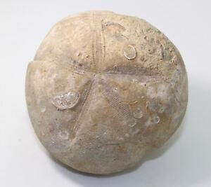 Seeigel, Micraster corcolumbarium, Kreide, Santon, Boixols, Lerida, ESP -eb5458